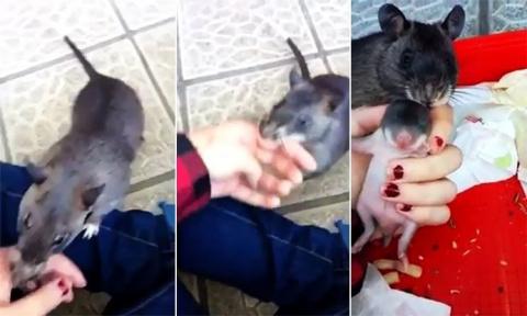 Крыса привела хозяйку за руку, чтобы показать малыша