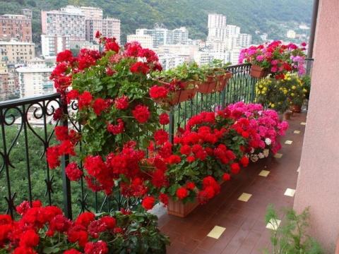Пеларгонии для балкона. Советы по выращиванию