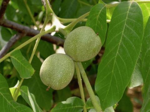 Грецкий орех в рецептах народной медицины