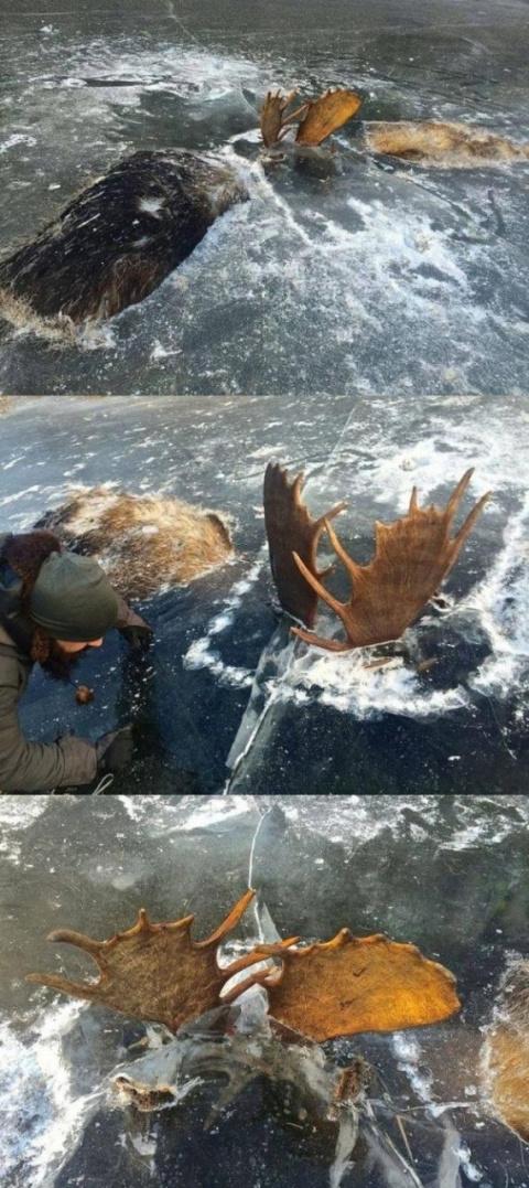 Фото дня: Два лося вмёрзли в…