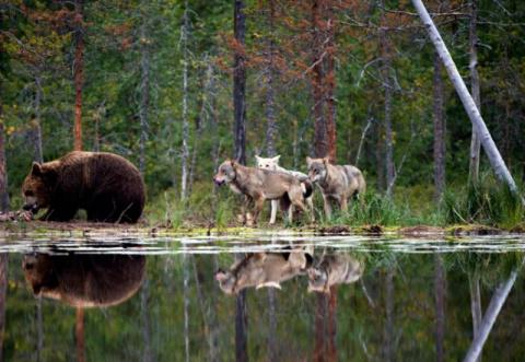 Стая волков напала на медведя