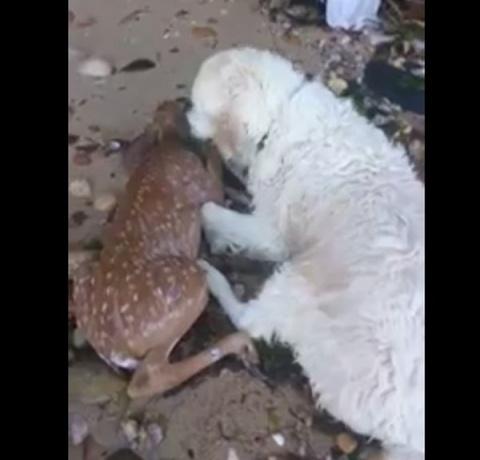 Спасение тонущего олененка