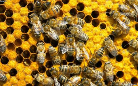 США против коррупции — пчёлы…