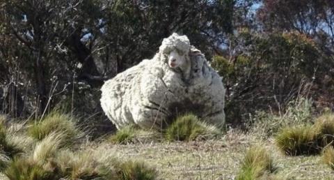 Сбежавшую из стада овцу нашл…