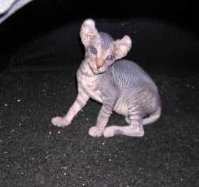 Кот эльф