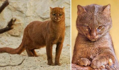 Ягуарунди, кошка которая умеет чирикать, ест фрукты и дружит с обезьянами