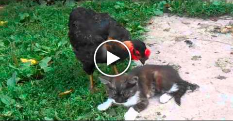 Курица подошла к коту и клюнула его.