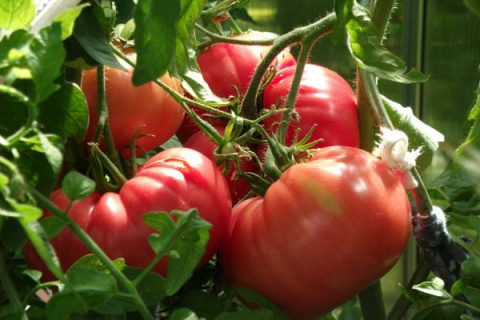 Самые крупные сорта томатов. Подробнее смотрите видео здесь