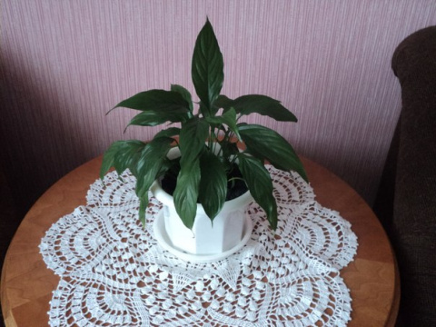Мои комнатные цветы или мои начинания в моей квартире