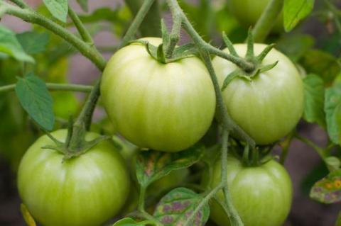 Как ускорить созревание томатов этим летом