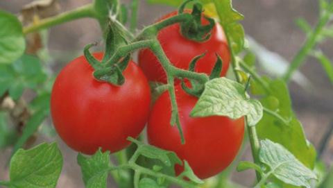Уход за томатами. Ускоряем с…