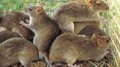 Страны, где едят крыс – не о…