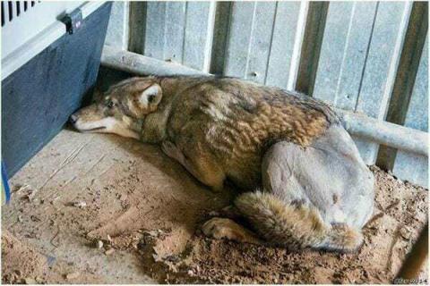 «Это же волк», — говорили вс…