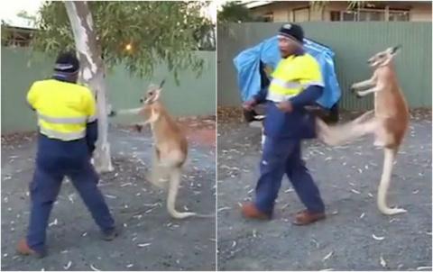 Уличная драка мужика с кенгуру в Австралии