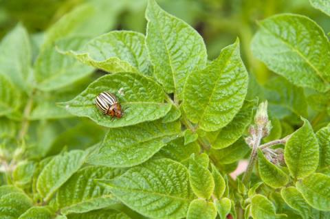 Как повысить устойчивость картофеля к колорадским жукам