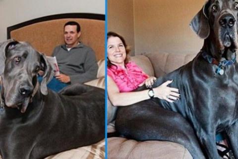 10 реально гигантских собак, которых не встретишь на улице