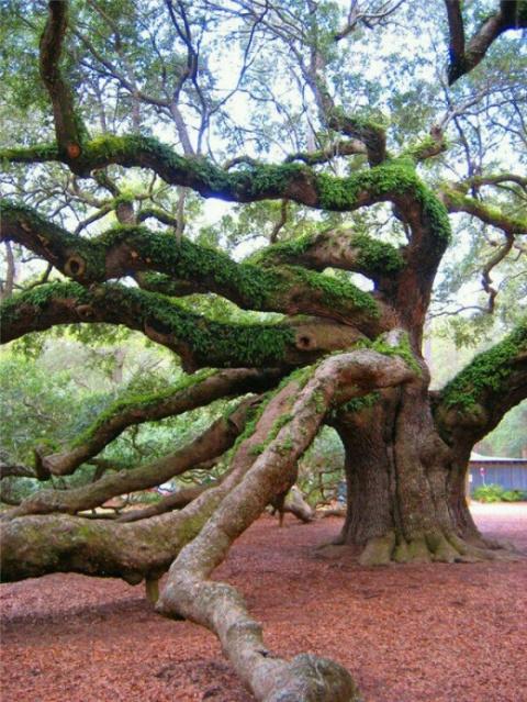 Ядовитое дерево.