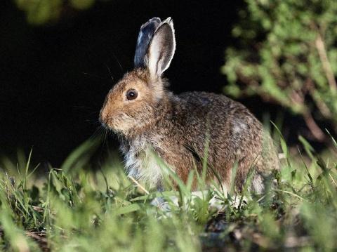 Разведение зайца-русака