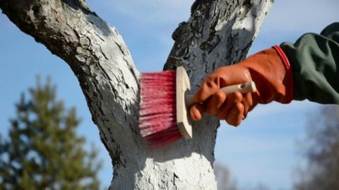 Осенняя побелка плодовых деревьев по правилам