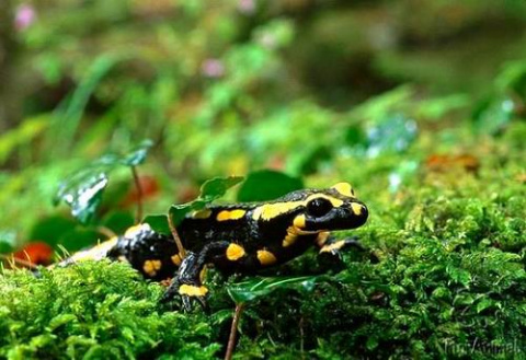 Саламандра, способная к фотосинтезу