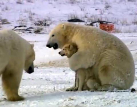 Владелец стаи псов приготовился к худшему, когда к ним подошли белые медведи. Но хищники удивили всех