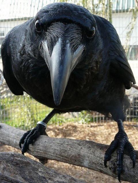 Мудрая птица чёрный ворон