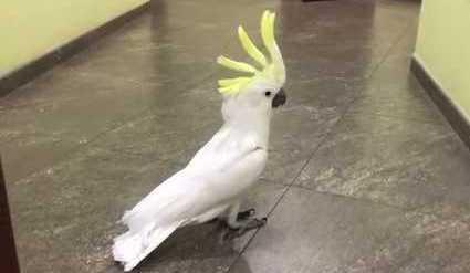 «Наташа, ты где?» — попугай …