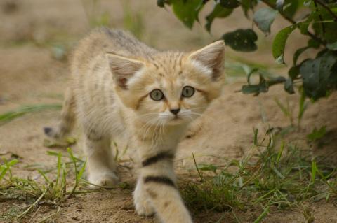 Взрослые песчаные коты выгля…