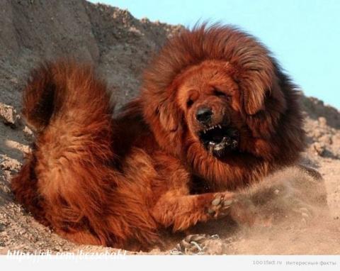 Тибетский мастифф - самая дорогая собака современности