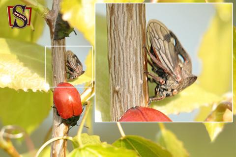 что это, кто это, вопрос картинка, вопрос на картинке, открытый вопрос, красный жук, цикада, что за насекомое, как называется жук, как называется насекомое, sredstva