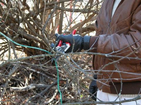 Жасмин осенью: схема обрезки, подготовка кустов к зиме, уход для начинающих, подкормка, размножение