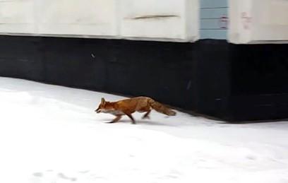 Дикие лисы заполонили центр Москвы