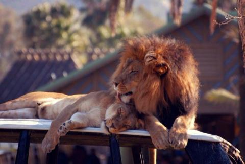 Львы необычайно красивы и фотогеничны )