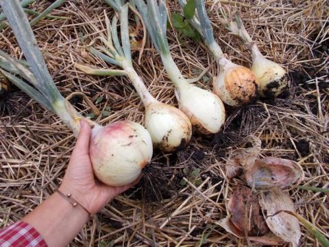 Как получить урожай гигантского лука
