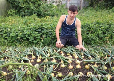 От семечка до луковицы весом…