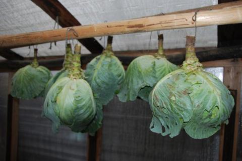 Необычные способы хранения капусты
