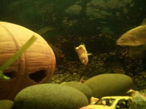 Аквариумная рыбка научилась …