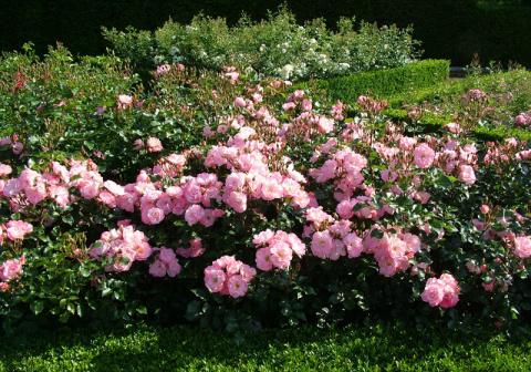 Сажаем шиповники для розария