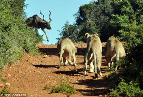 Антилопа против голодных льв…