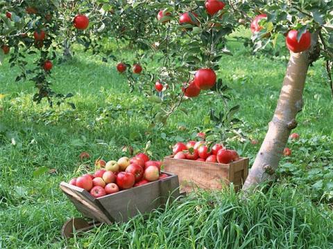 5 важных дел, которые нужно сделать с плодовыми деревьями в июле