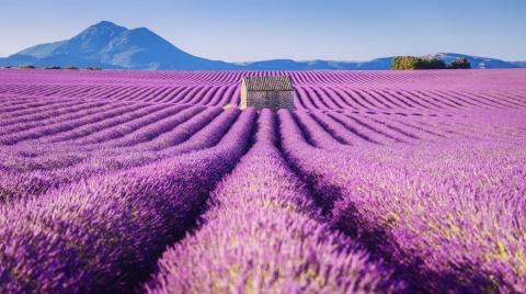 Красота лавандовых полей Фра…