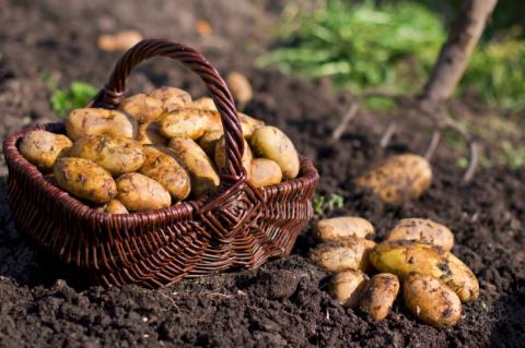 Картошка из семян. Стоит ли …