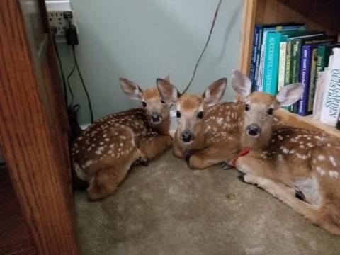 Три оленёнка забежали к женщ…