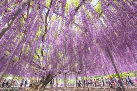 Фестиваль цветущей глицинии …