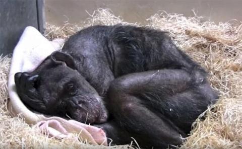 59-летняя умирающая шимпанзе…