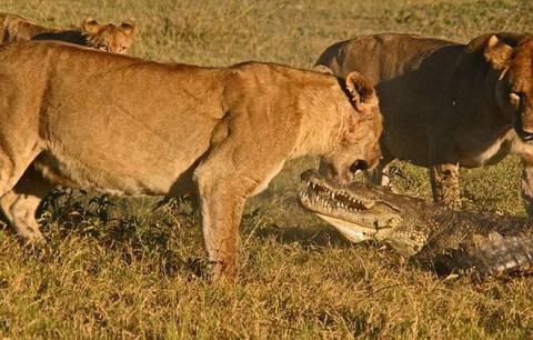 Схватка львиц и крокодила по…