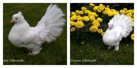 Королевский голубь из пласти…