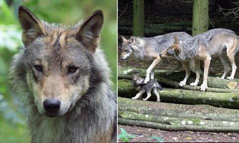 Сотрудники британского зоопарка вынужденно застрелили волчицу-мать пятерых волчат