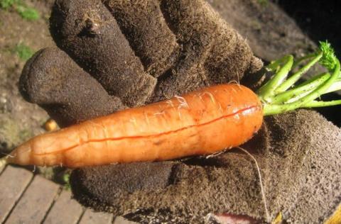 Почему морковь с трещиной?
