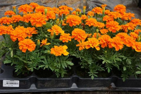 Правильное выращивание рассады цветов